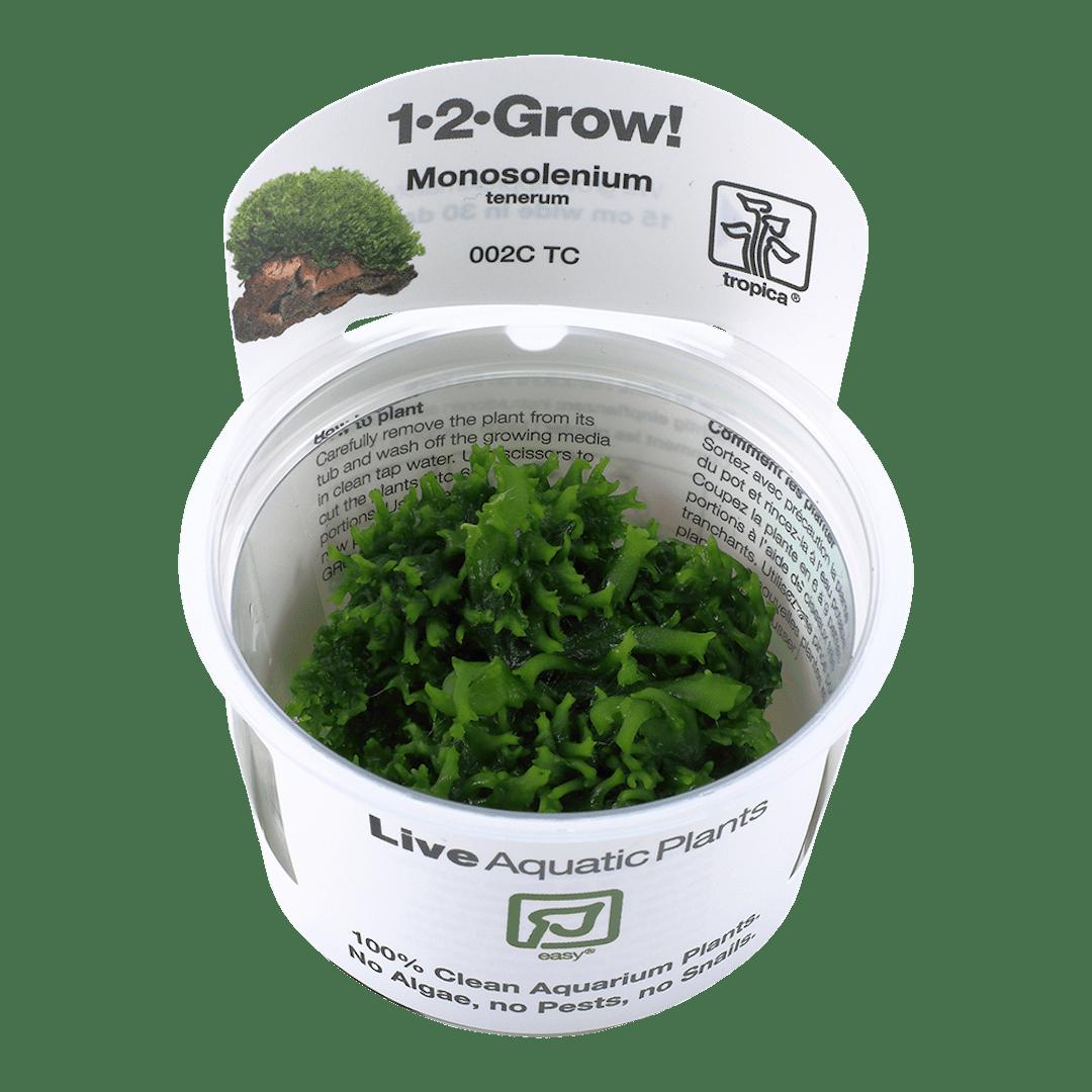 MonosoleniumTenerum(  Grow)