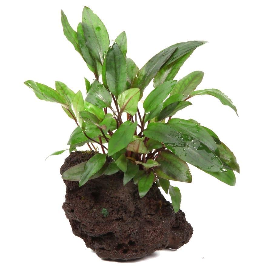 TropicaCryptocoryneBeckettii'Petchii'onlavastone( cm) Aquaticplant