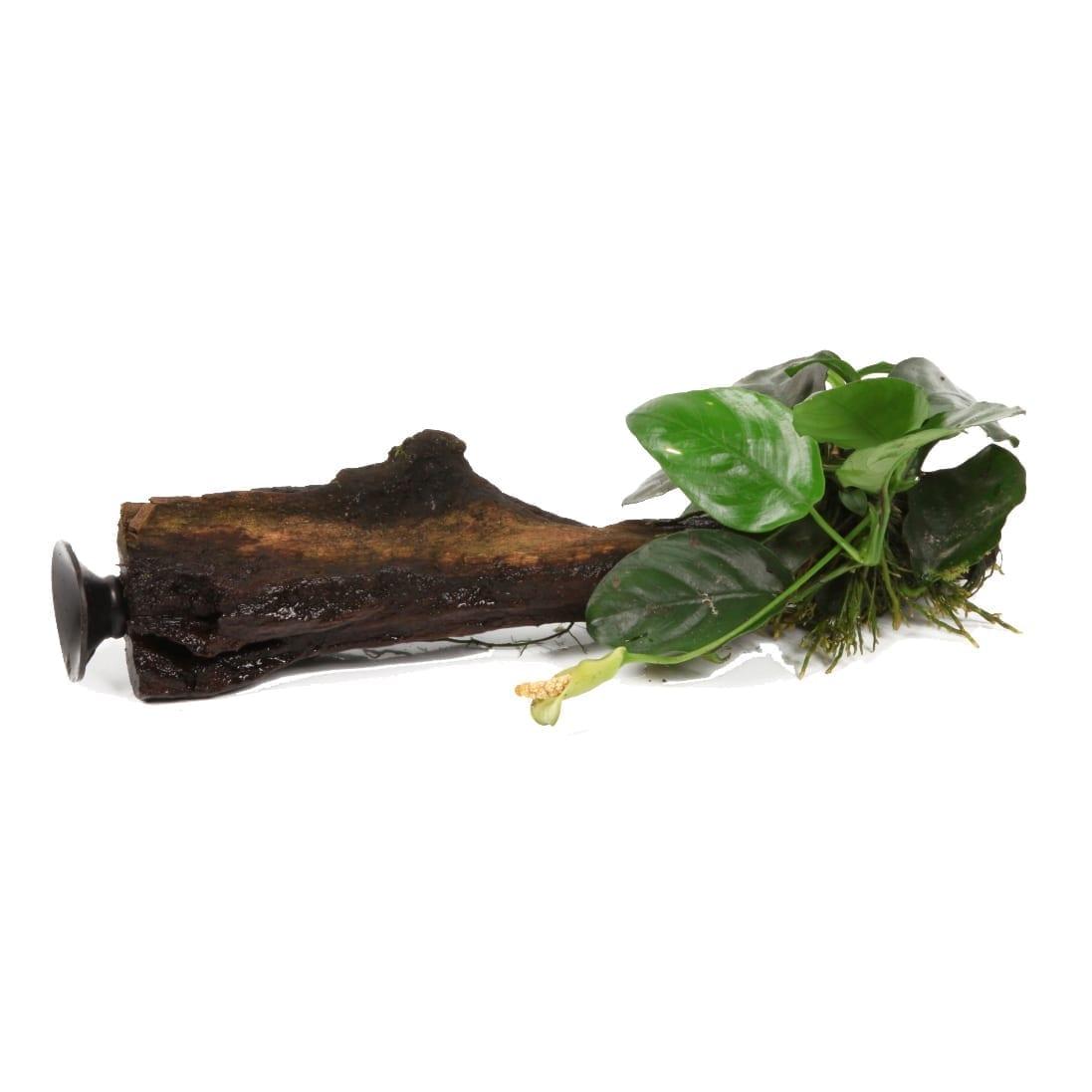 Tropica Anubis Barteri var. Nana ( On wood with Sucker )
