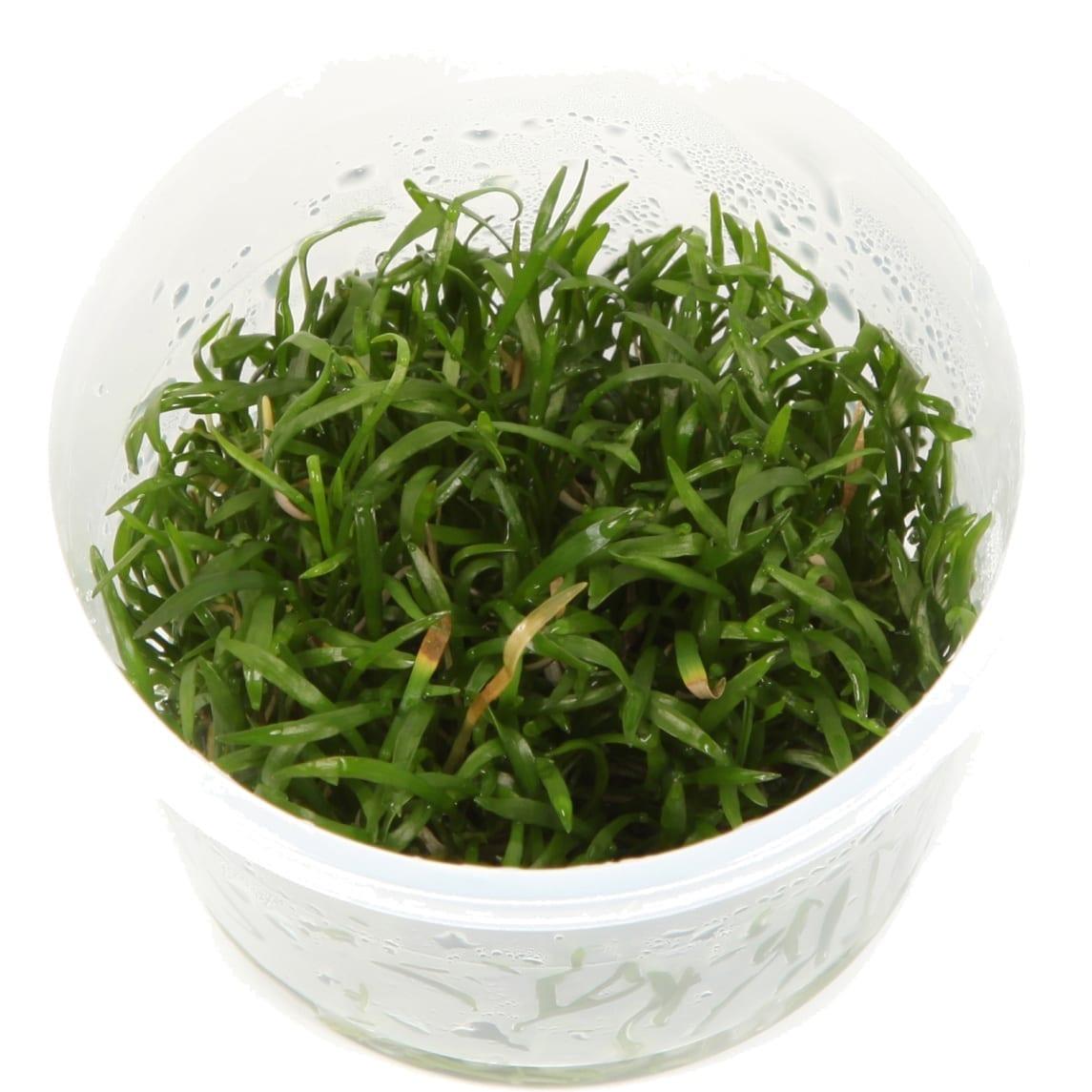 LilaeopsisBrasiliensis(  Grow)