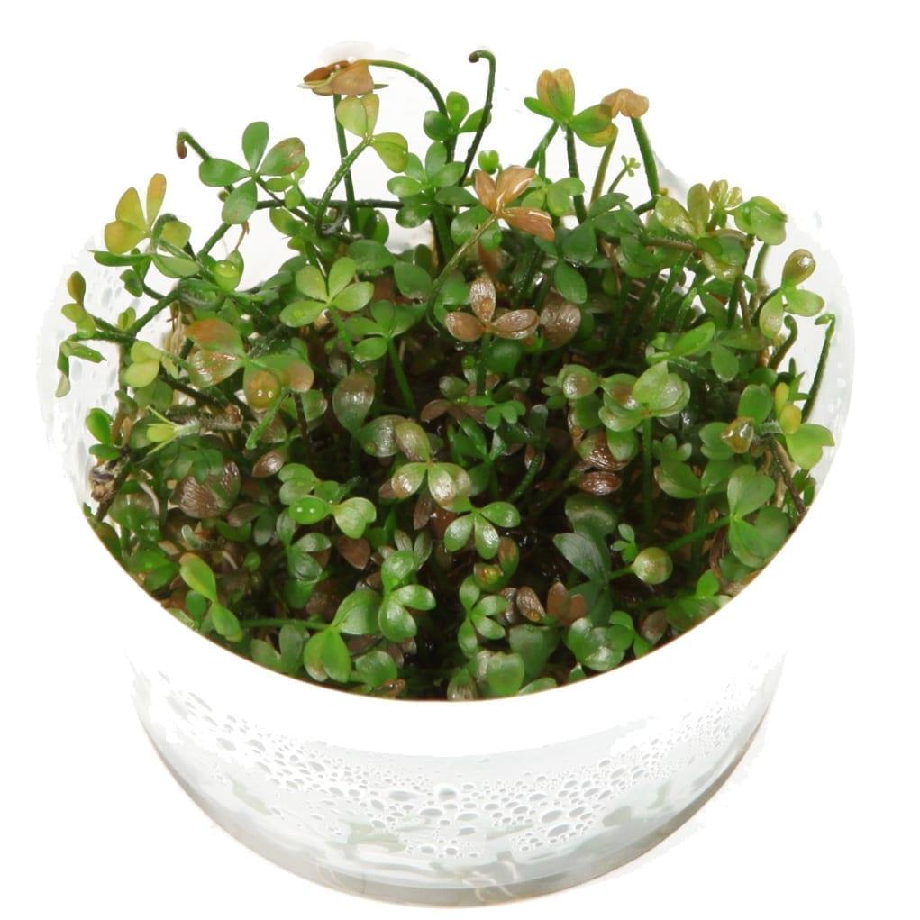 MarsileaHirsuta(  Grow)