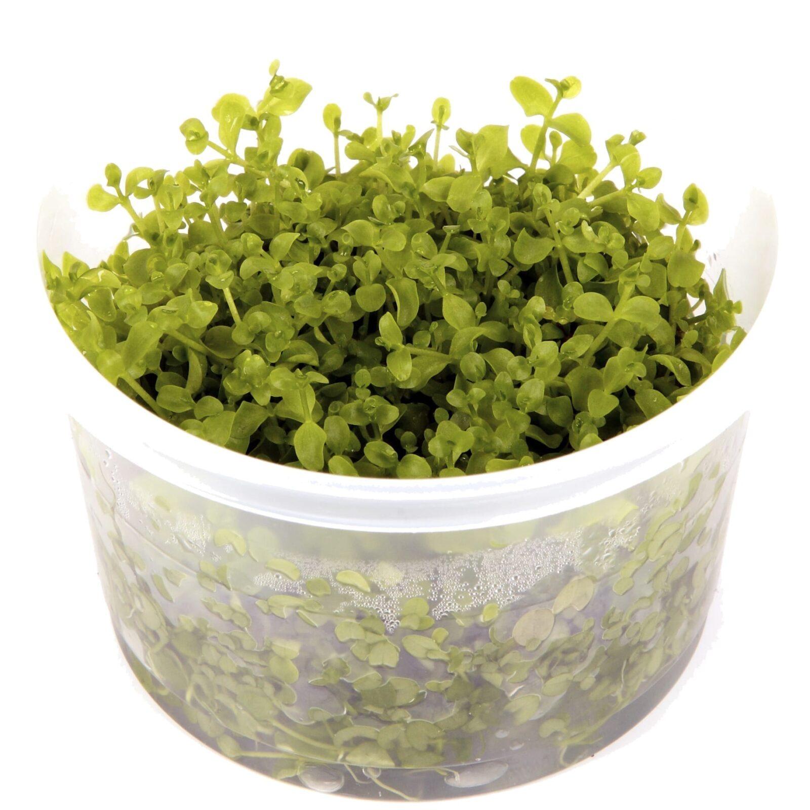 Micranthemum'MonteCarlo'(  Grow)