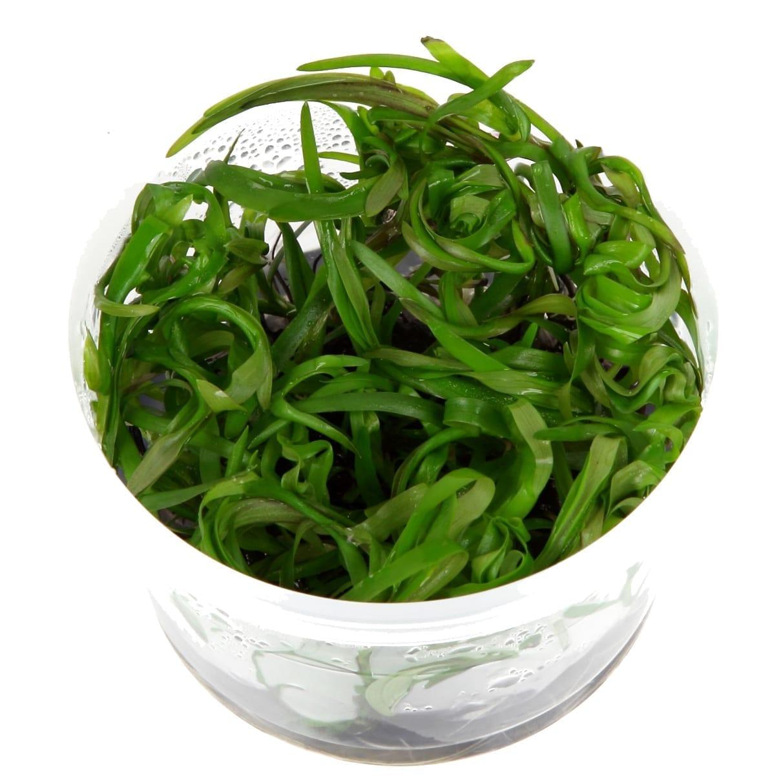 HeterantheraZosterifolia(  Grow)