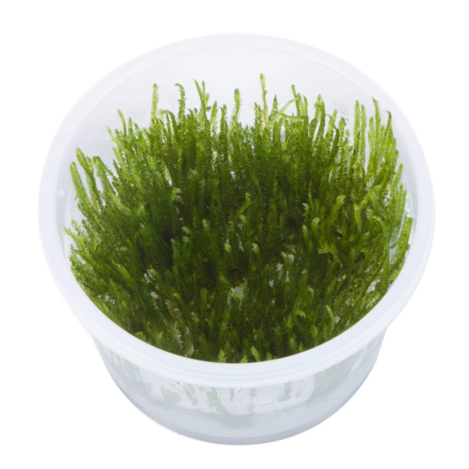 Taxiphyllum'Spiky'(  Grow)