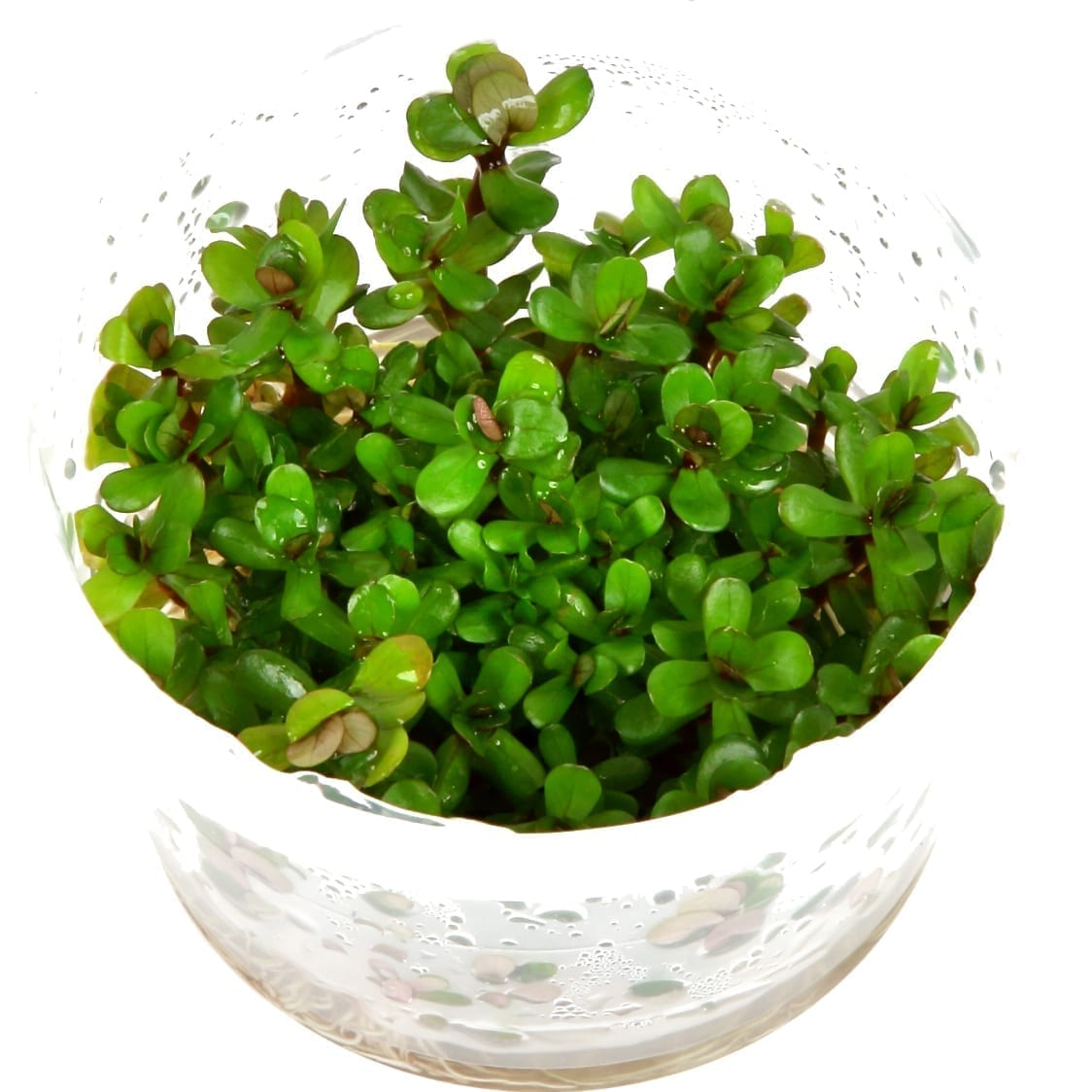 Rotala'Bonsai'(  Grow)