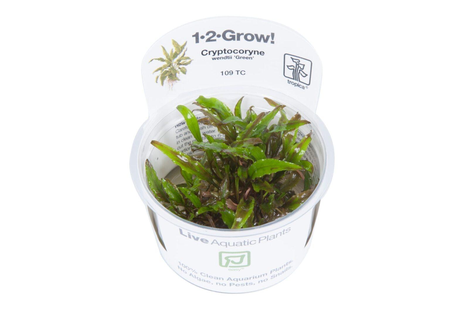 CryptocoryneWendtii'Green'(  Grow)