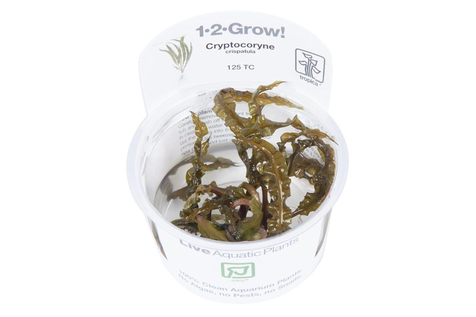 CryptocoryneCrispatula(  Grow)