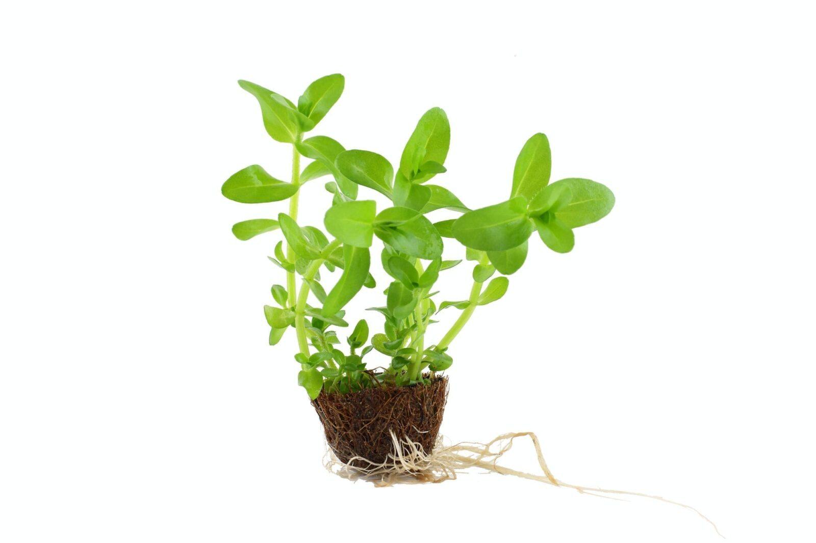 Bacopa Caroliniana Mini Pot