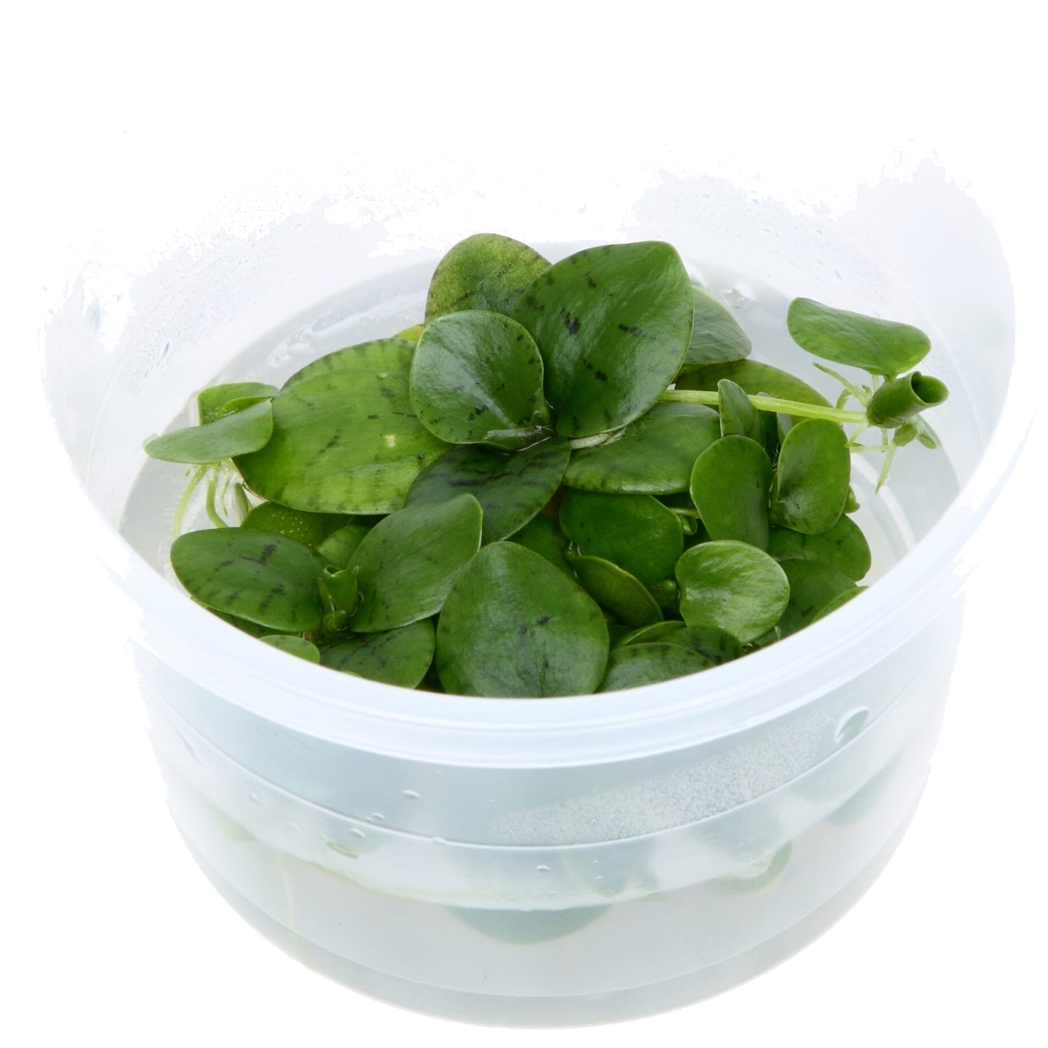 LimnobiumLaevigatum(  Grow)