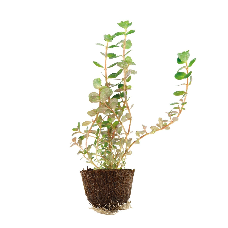 Rotala rotundifolia Mini Pot