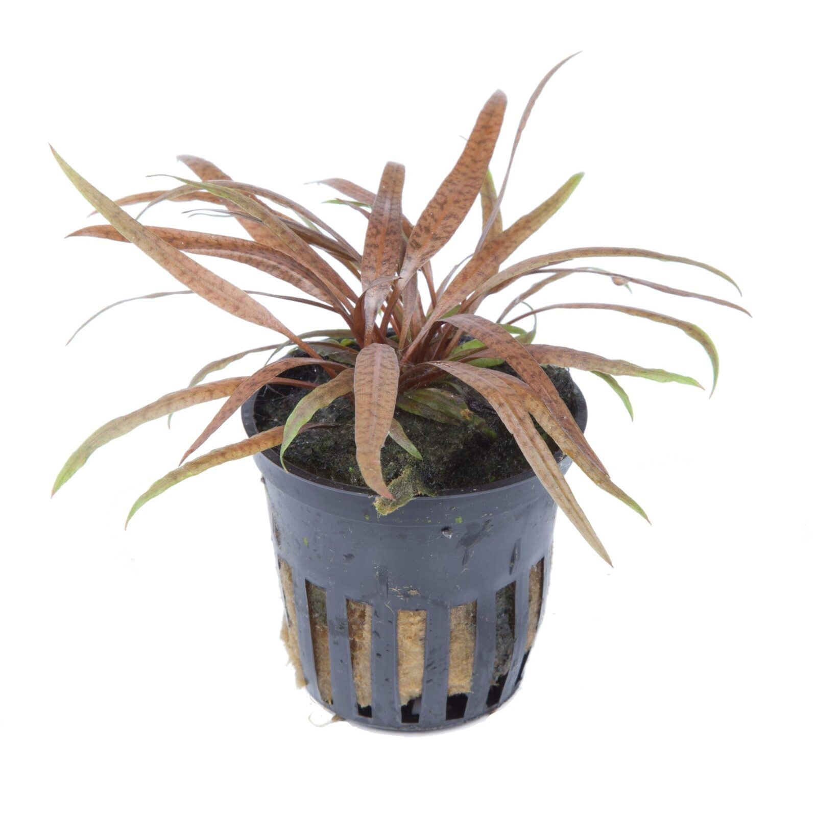 Cryptocoryne albida 'Brown'