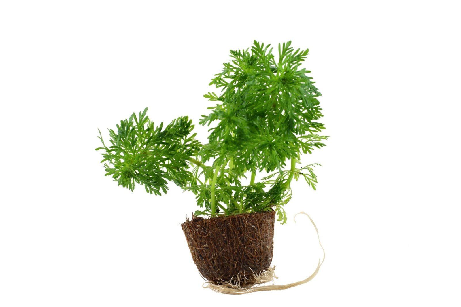 Limnophila sessiliflora Mini Pot