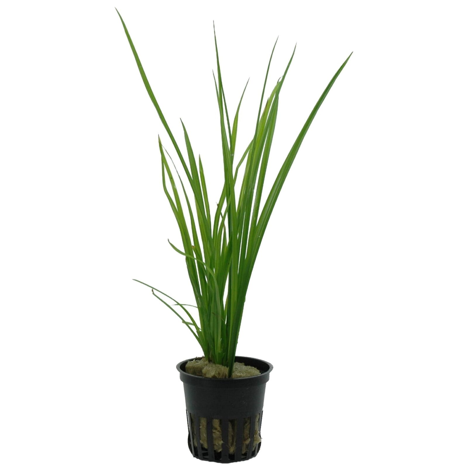 Cyperus Helferi UK & Ireland Online