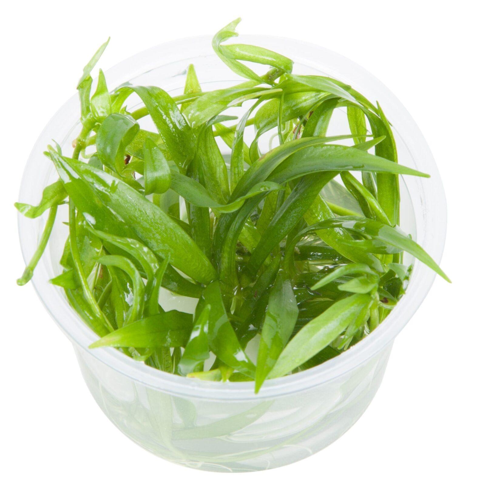 HelanthiumQuadricostatus(  Grow)